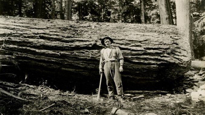 Logging Douglas fir in 1933